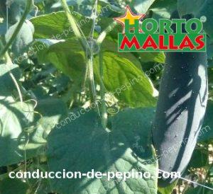 plantas de pepino usando la red espaldera hortomallas