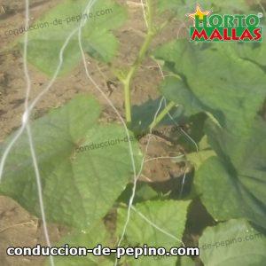 red tutora brindado soporte a cultivos de pepino